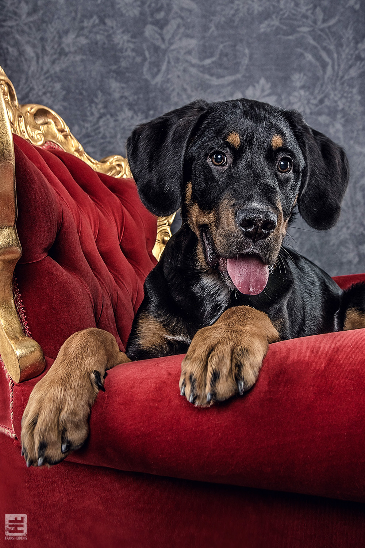 Royal Dogs - Max