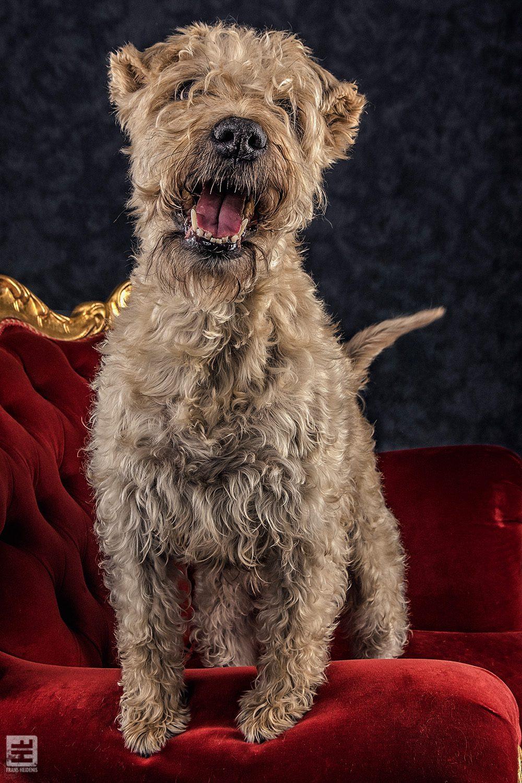 Royal Dogs - Mila