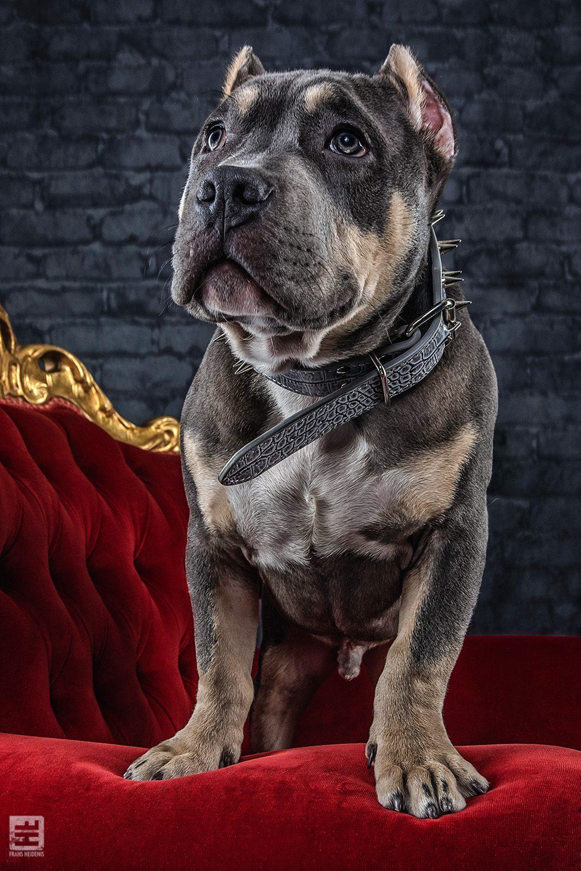 Royal Dogs - Xidon
