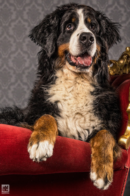 Royal Dogs - Ziva
