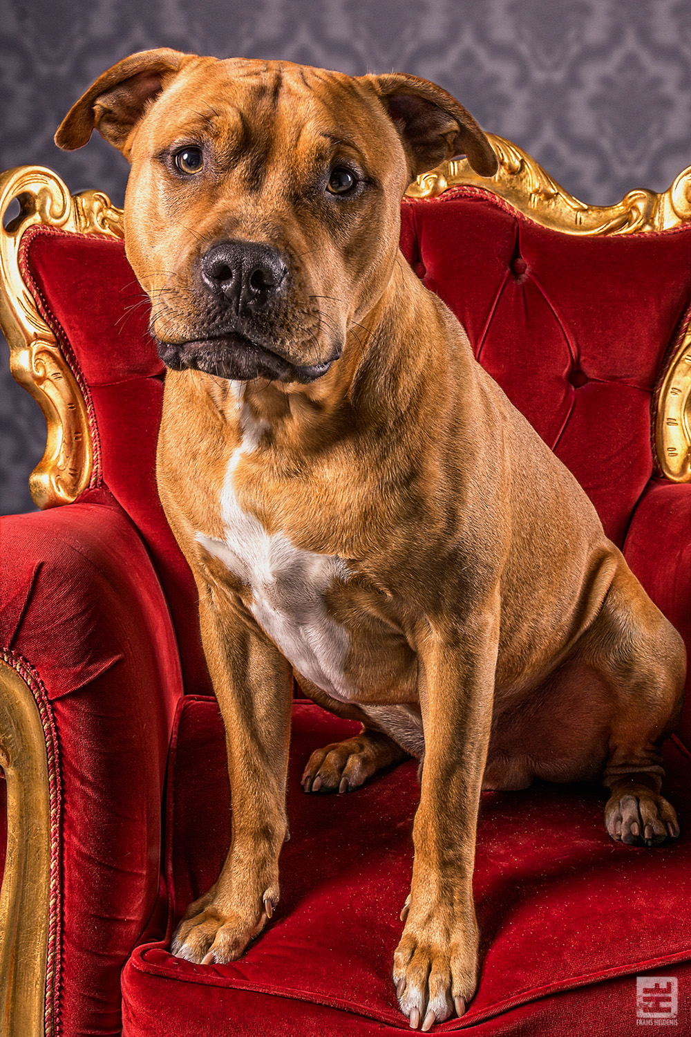 Royal Dogs - Brownie